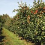 Foto Frauchtbehandlungsregulierung bei Äpfeln